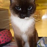 Siamese Cat for adoption in Logan, Utah - Fancy