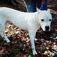Adopt A Pet :: Bo - Stroudsburg, PA
