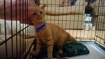 Domestic Shorthair Cat for adoption in Somerset, Kentucky - Squirt