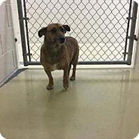 Adopt A Pet :: Shammy - Newport, KY