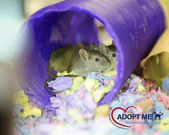 Mouse for adoption in Alexandria, Virginia - Bert