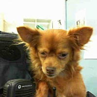 Adopt A Pet :: GINGER - Hayward, CA
