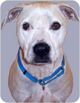 American Staffordshire Terrier/Labrador Retriever Mix Dog for adoption in Grass Valley, California - Charlie*URGENT*