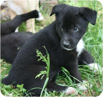 Shepherd (Unknown Type) Mix Puppy for adoption in Plainfield, Connecticut - Blossom