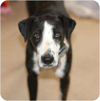 Border Collie Mix Dog for adoption in Scottsdale, Arizona - Patron