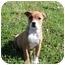 Photo 2 - Australian Shepherd Mix Puppy for adoption in Hagerstown, Maryland - Greta