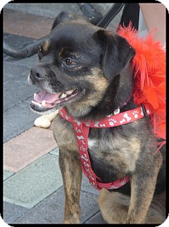 Pug/Miniature Pinscher Mix Dog for adoption in Lake Forest, California - Coco Bean