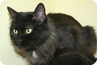 Domestic Longhair Cat for adoption in Edmonton, Alberta - Padme