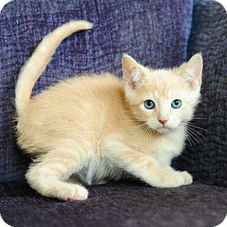 Domestic Shorthair Kitten for adoption in Ft. Lauderdale, Florida - Chaz