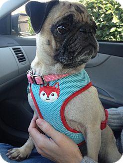 Pug Dog for adoption in West Hills, California - Hazel