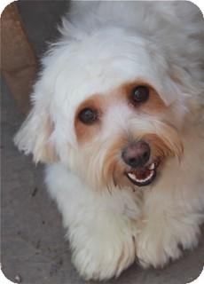 Cockapoo Mix Dog for adoption in Norwalk, Connecticut - Daisy Mae - adoption pending