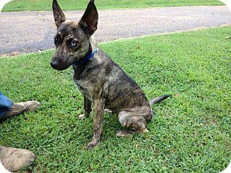 Feist/Shepherd (Unknown Type) Mix Puppy for adoption in Hartford, Connecticut - Darla