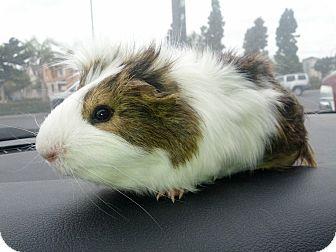 Guinea Pig for adoption in Fullerton, California - Louie (OCCH pig)
