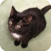 American Shorthair Kitten for adoption in Palatine, Illinois - Alex