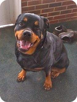Rottweiler Dog for adoption in Media, Pennsylvania - KERA