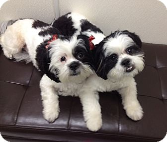 Lhasa Apso Dog for adoption in Los Angeles, California - PANDA & LINGLING
