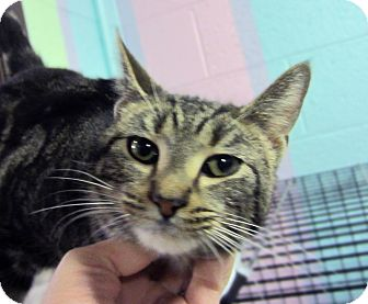 Domestic Shorthair Cat for adoption in Sidney, Ohio - Carson