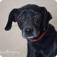 Adopt A Pet :: Sooner - Phoenix, AZ