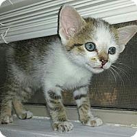 Adopt A Pet :: Haley - Chandler, AZ
