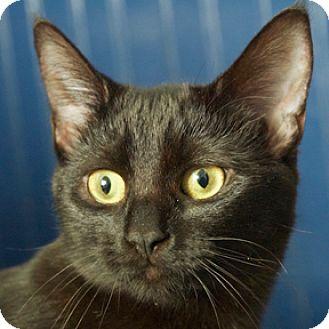 Domestic Shorthair Kitten for adoption in Calgary, Alberta - Lucille