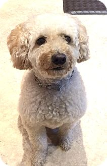 Poodle (Miniature)/Bichon Frise Mix Dog for adoption in East Hanover, New Jersey - MAISON