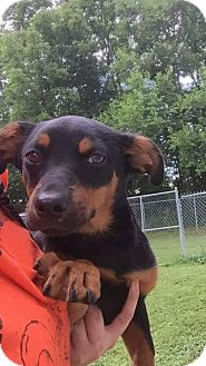 Dachshund Mix Puppy for adoption in Gallatin, Tennessee - Zippi