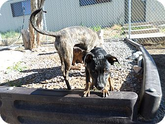 Catahoula Leopard Dog/Retriever (Unknown Type) Mix Puppy for adoption in Edgewood, New Mexico - Gina