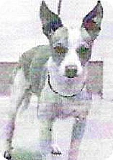Chihuahua Mix Dog for adoption in Spokane, Washington - Riley