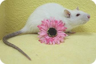 Rat for adoption in Benbrook, Texas - Cashmere