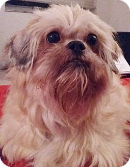 Lhasa Apso Dog for adoption in Riverview, Florida - Gizmo