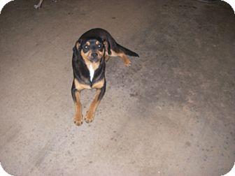 Manchester Terrier Mix Dog for adoption in Buchanan Dam, Texas - Little Man