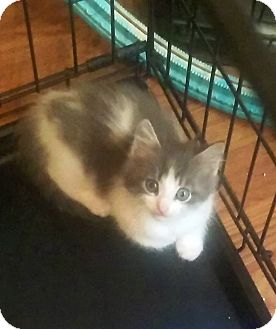 Domestic Shorthair Kitten for adoption in Savannah, Georgia - Breeze