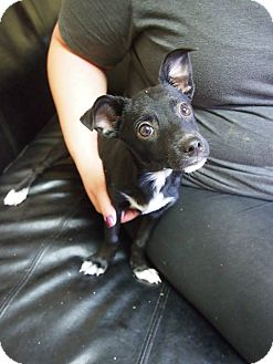Rat Terrier/Chihuahua Mix Puppy for adoption in Philadelphia, Pennsylvania - Cassidy