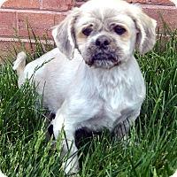 Adopt A Pet :: Mickey-Adoption pending - Bridgeton, MO