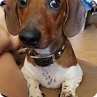 Adopt A Pet :: Haydn - Prosser, WA