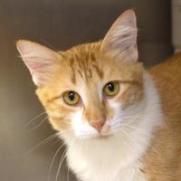 Domestic Mediumhair/Domestic Shorthair Mix Cat for adoption in Bryan, Texas - Rupert