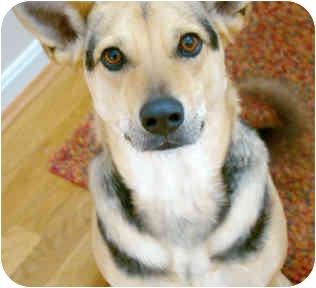 Shepherd (Unknown Type) Mix Dog for adoption in Cincinnati, Ohio - Isabella