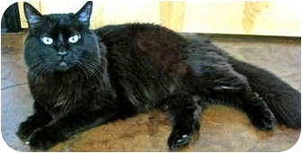 Domestic Longhair Cat for adoption in Portland, Oregon - Bear