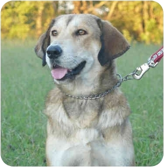 Shepherd (Unknown Type)/Hound (Unknown Type) Mix Dog for adoption in Carrollton, Texas - Jewel