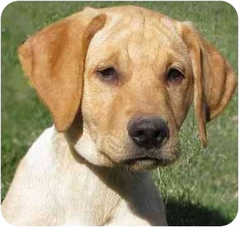 Labrador Retriever Mix Puppy for adoption in Evergreen, Colorado - Hewey