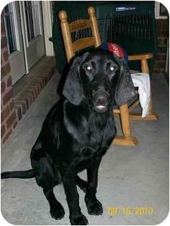 Labrador Retriever/Weimaraner Mix Puppy for adoption in FOSTER, Rhode Island - Charley