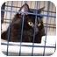 Photo 1 - Domestic Mediumhair Cat for adoption in Lake Linden, Michigan - Cricket