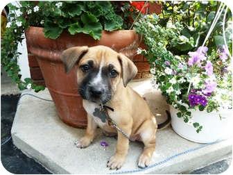 Boxer/Labrador Retriever Mix Puppy for adoption in Detroit, Michigan - Karma- pending!