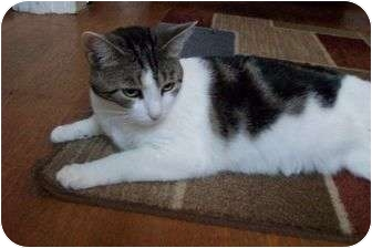 Domestic Shorthair Cat for adoption in New Richmond, Ohio - Presley
