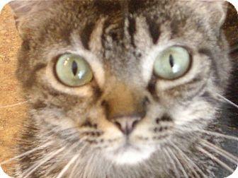 Domestic Shorthair Cat for adoption in Deerfield Beach, Florida - Santa Monika