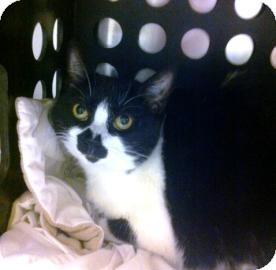 Domestic Shorthair Cat for adoption in Columbus, Georgia - Tundra 3D24