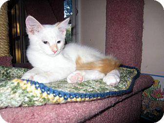 Siamese Kitten for adoption in Arlington, Virginia - Harve