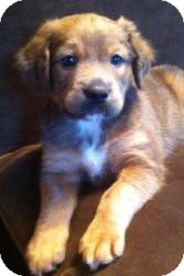 Feist/Harrier Mix Puppy for adoption in Lancaster, Pennsylvania - Quinn Combs