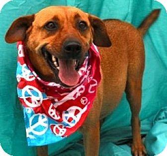 Beagle/Boxer Mix Dog for adoption in New Roads, Louisiana - Little Chloe