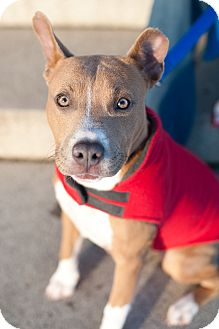 American Pit Bull Terrier Mix Puppy for adoption in Reisterstown, Maryland - Foxy